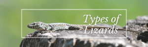 TYpes of Lizards Featured Image