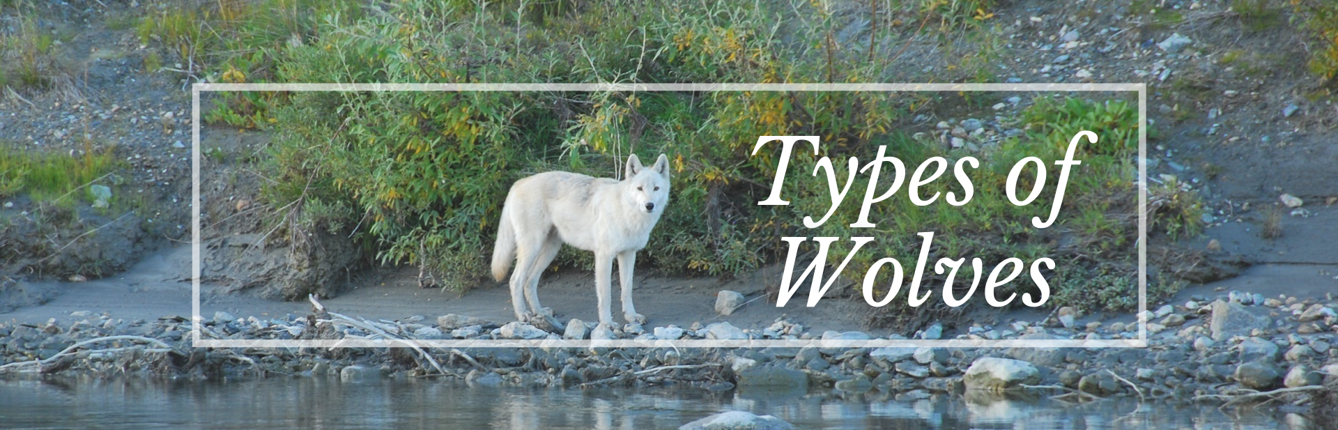 27 Wonderful Types of Wolves (Facts, Photos & More)