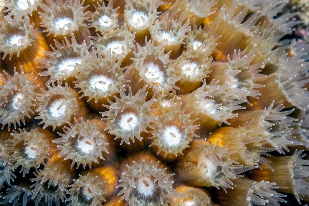 Boulder Star Coral (Monstastrea annularis/Orbicella annularis)