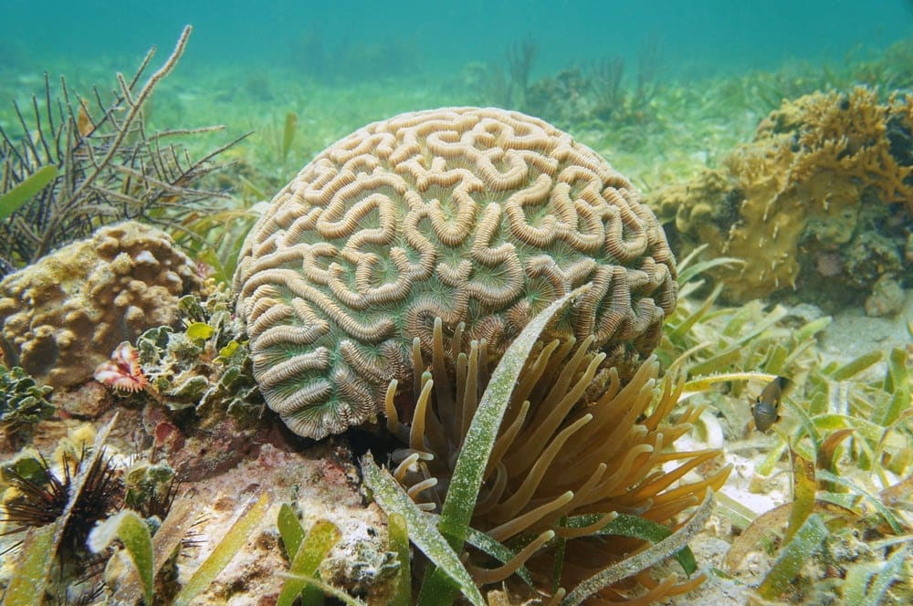 Grooved Brain Coral (Diploria labrynthiformis)