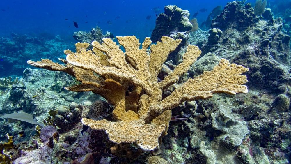Elkhorn Coral (Acropora palmata)