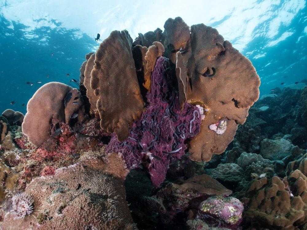 Leaf Coral (Pavona decussata)