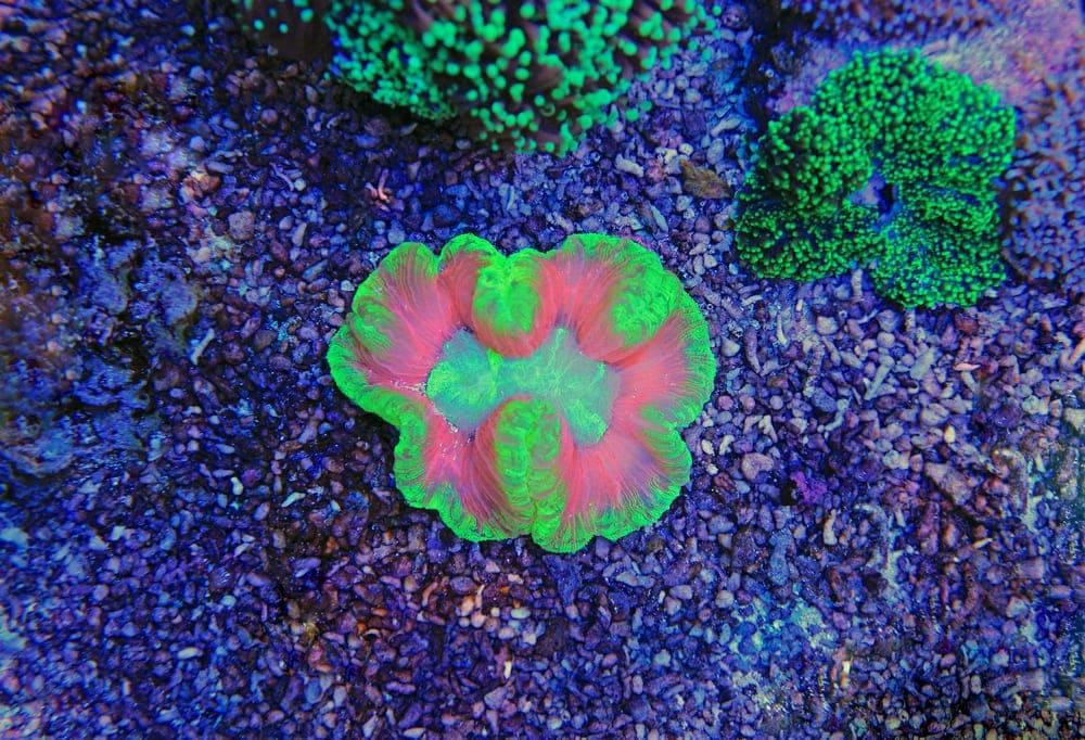 Open Brain Coral (Trachyphyllia geoffroyi)
