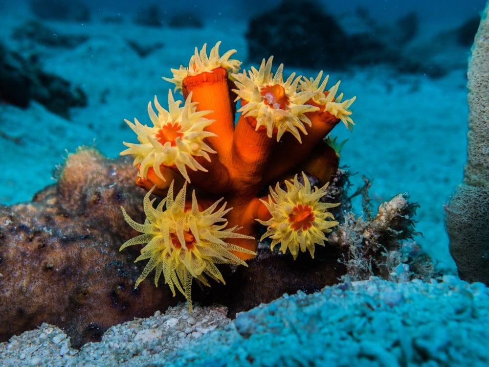Sun Corals (Tubastraea)