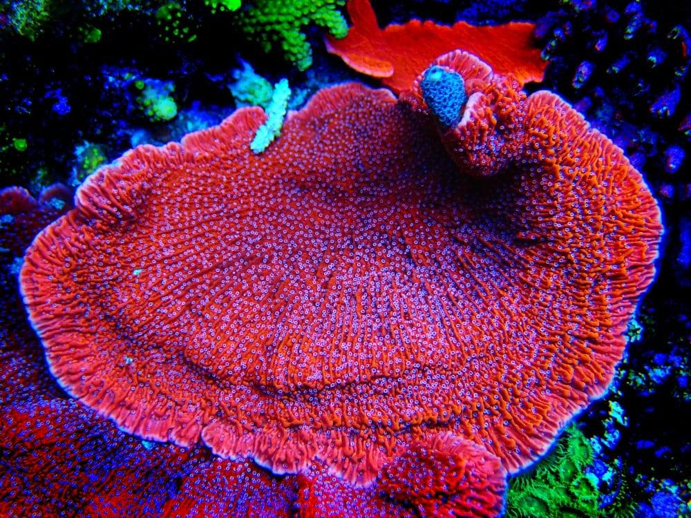 Vase Coral (Montipora capricornis)
