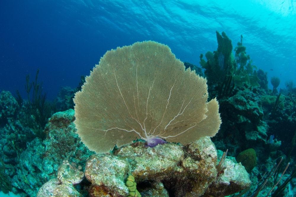 Venus Sea Fan Coral (Gorgonia flabellum)