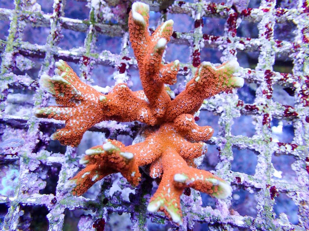 Finger Coral (Montipora digitata)