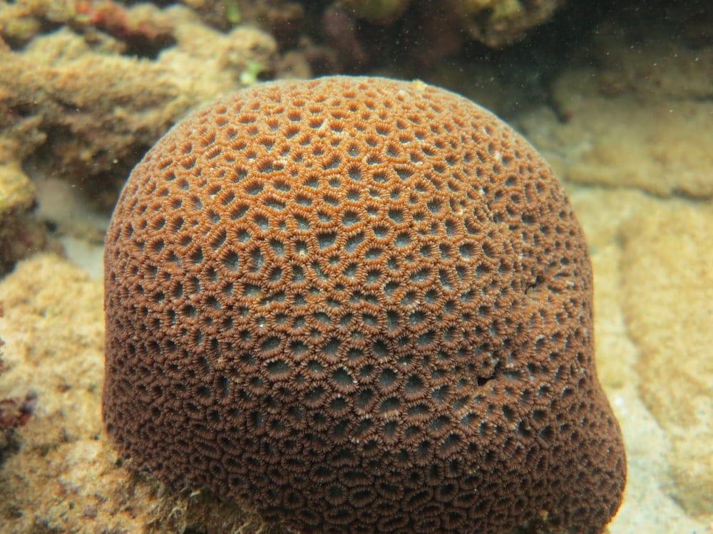 Honeycomb Coral (Diploastrea heliopora)