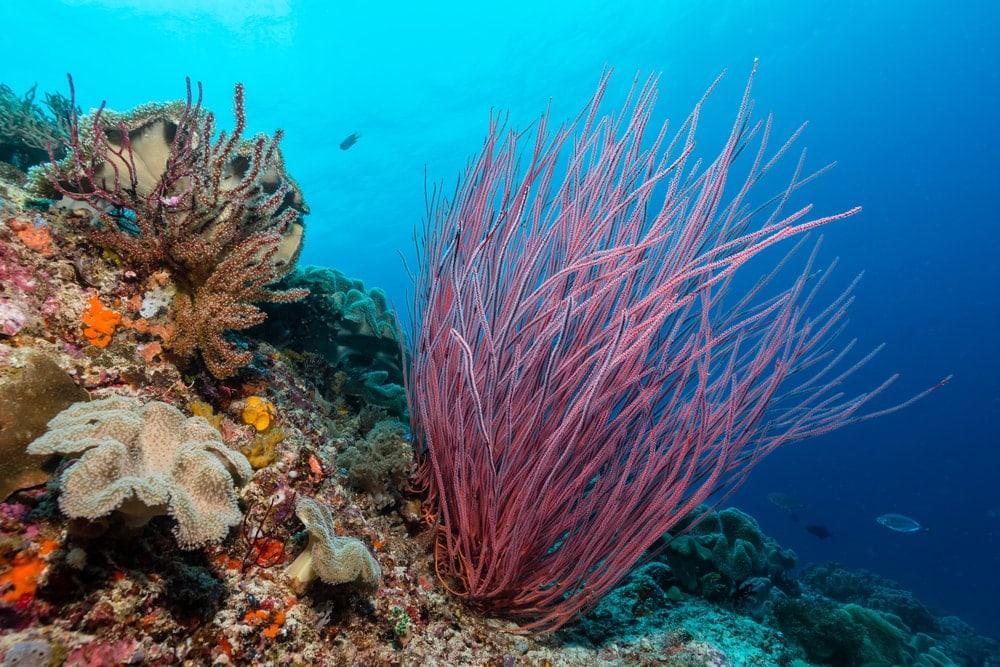 Colorful Sea Whip (Leptogorgia virgulata)