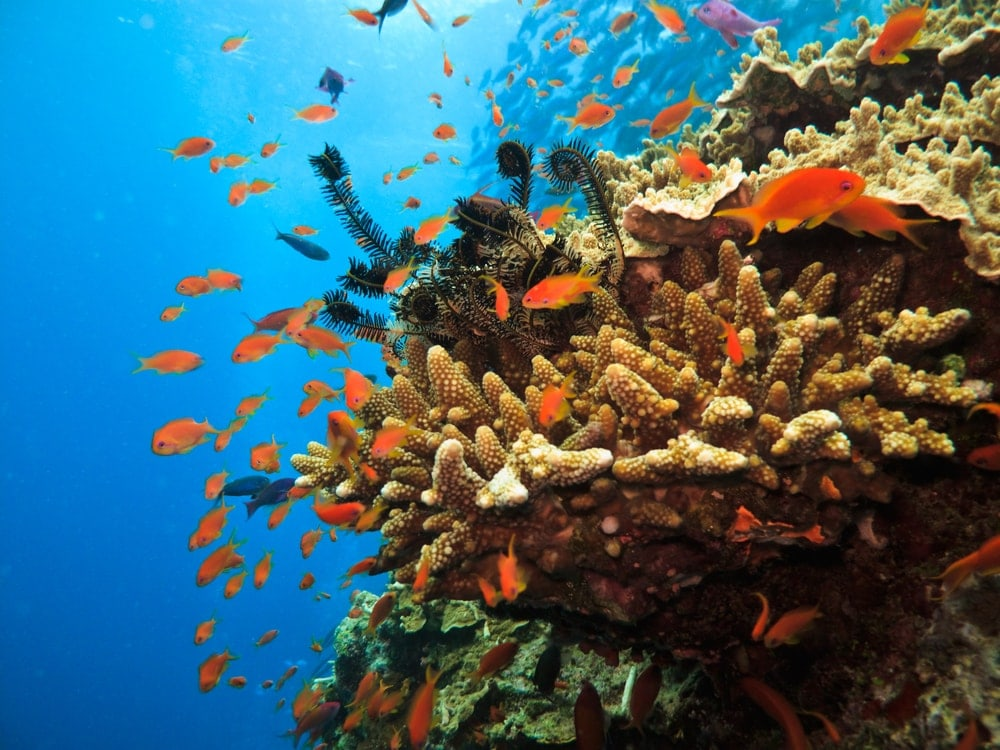 Stony Coral Colony surrounded by small fish