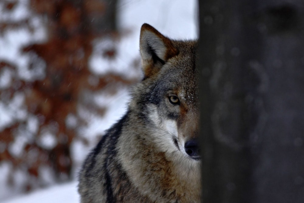Wolf staring with one eye covered by tree