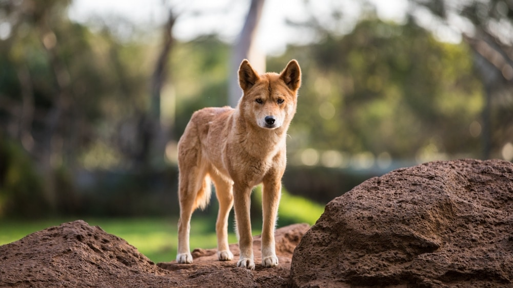 New Guinea Singing Dog (Canis lupus dingo)