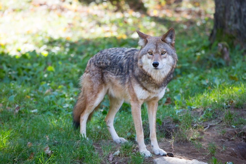 Northern Rocky Mountain Wolf (Canis lupus irremotus)