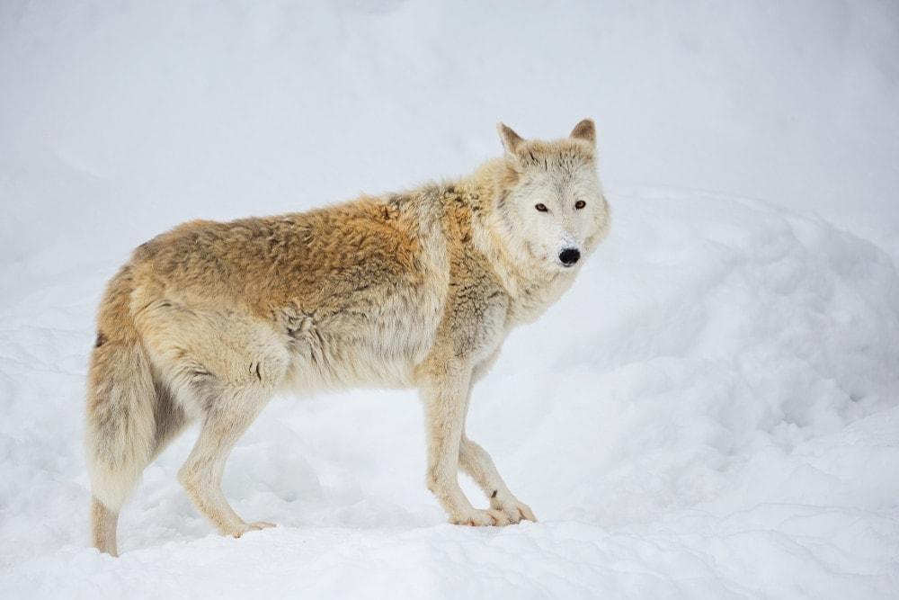 Tundra Wolf (Canis lupus albus)