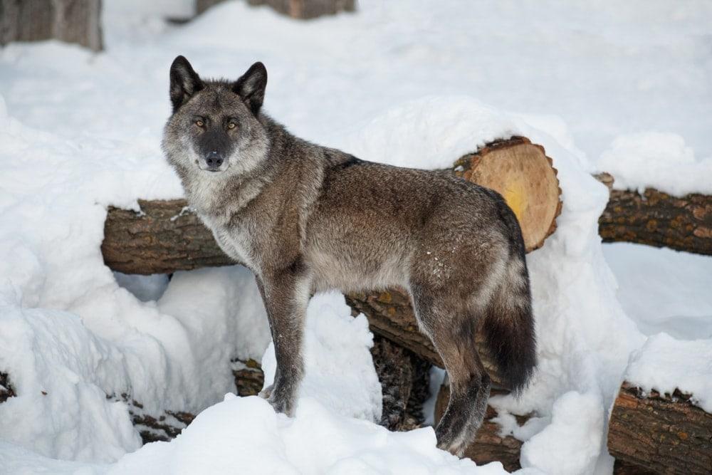 Alaskan Interior Wolf (Canis lupus pambasileus)