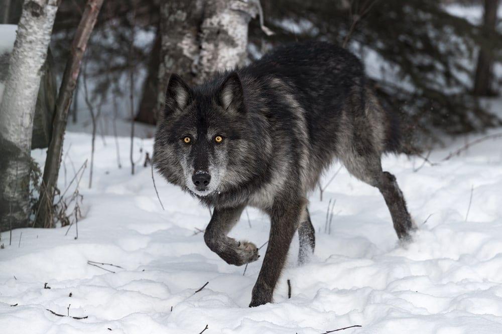 Alexander Archipelago Wolf (Canis lupus ligoni)