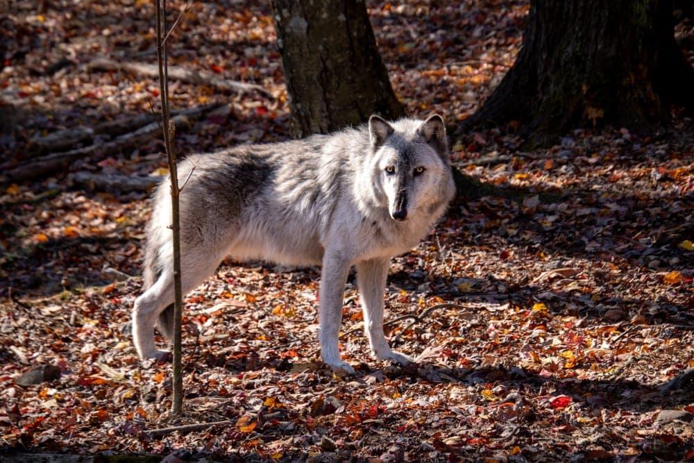 British Columbian Wolf (Canis lupus columbianus)
