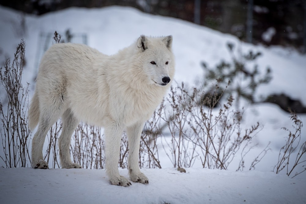 Greenland Wolf (Canis lupus orion)