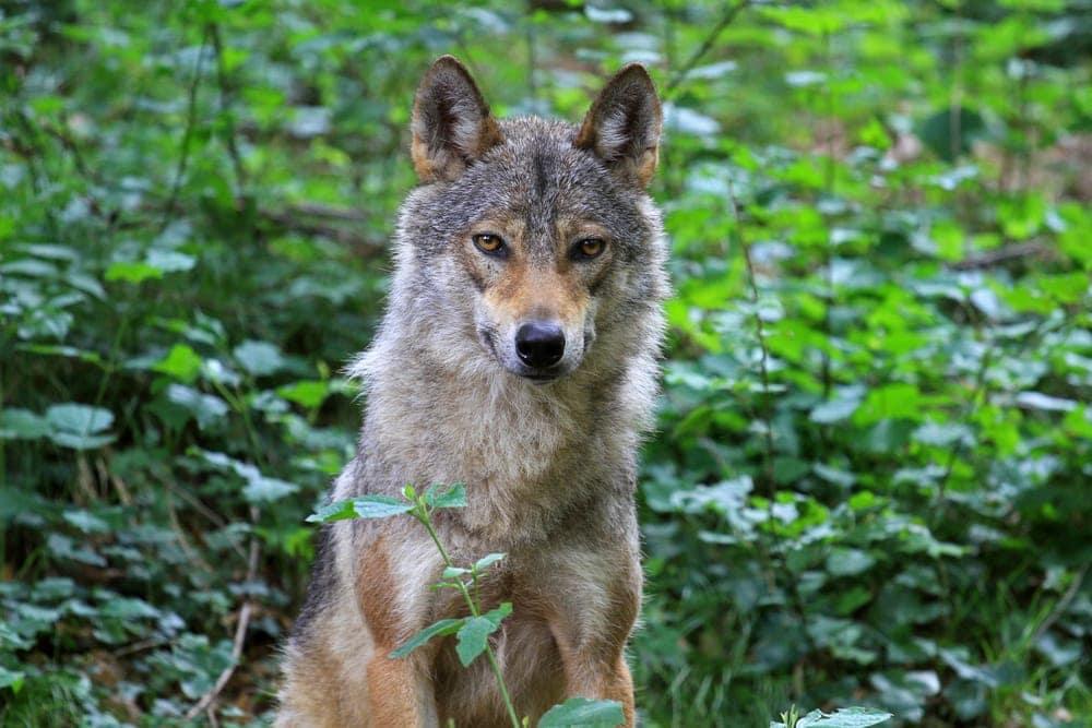 Italian Wolf (Canis lupus italicus)