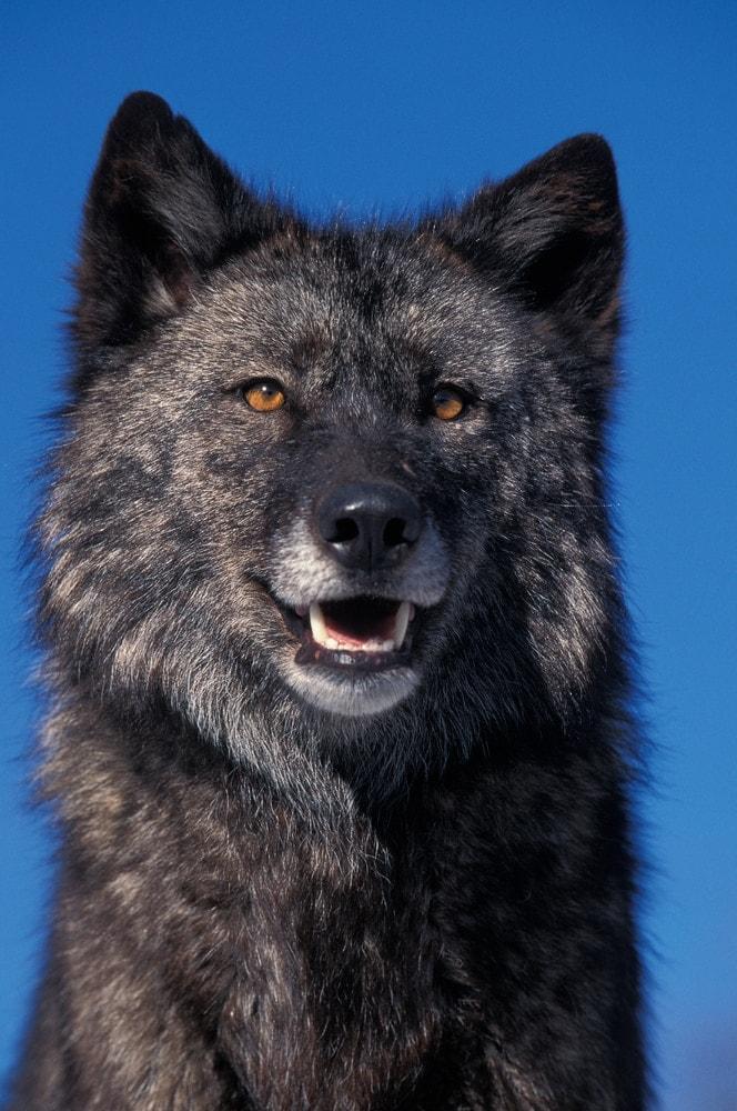 Mackenzie River Wolf (Canis lupus mackenzii)