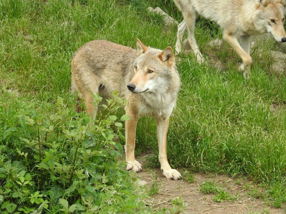 Mongolian Wolf (Canis lupus chanco)