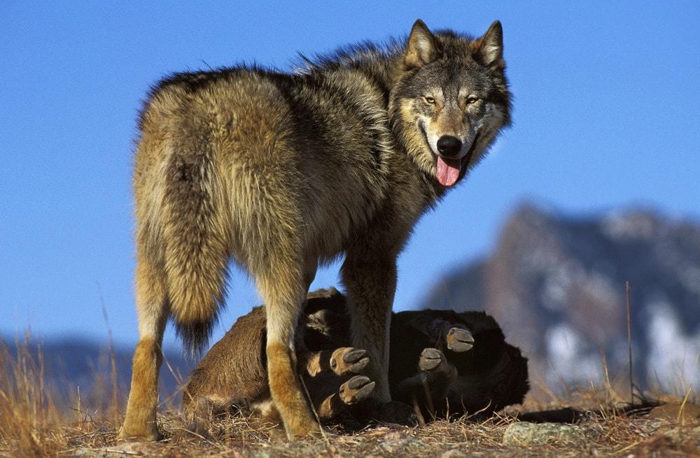 Northwestern Wolf (Canis lupus occidentalis)