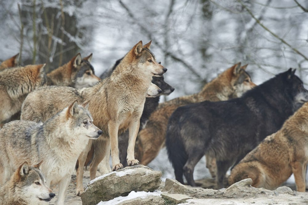 A pack of wolves looking for prey