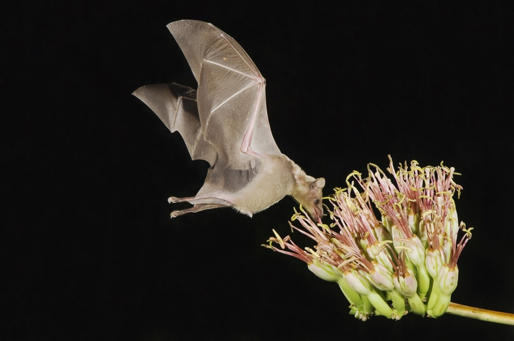 Flying canyon bat (Parastrellus hesperus) eating a plant