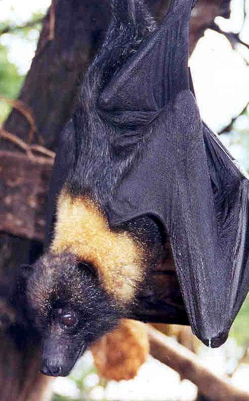 Mariana Fruit Bat (Pteropus mariannus) hanging on a tree branch