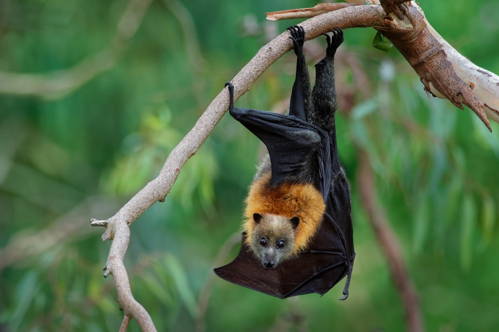 Grey-Headed Flying Fox (Pteropus poliocephalus) hanging on a tree branch