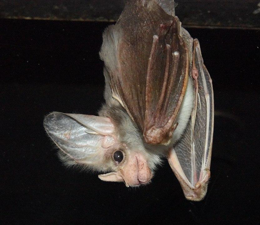 Ghost Bat (Macroderma gigas) hanging upside down
