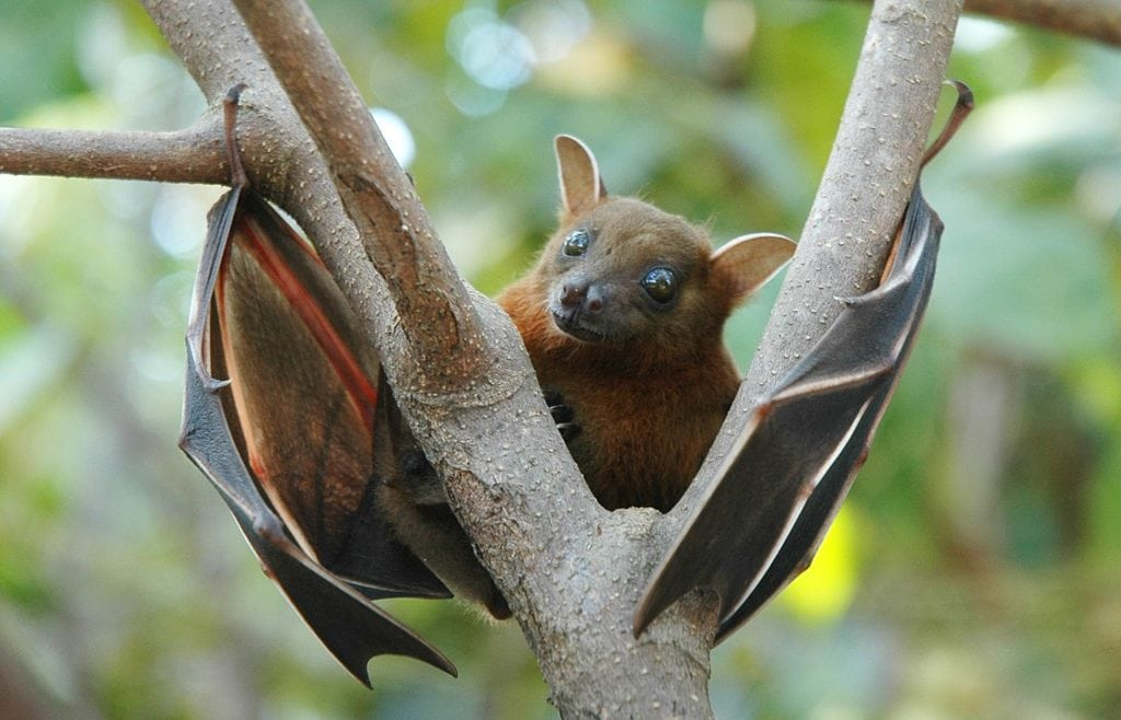 lookng curious Lesser Short-Nosed Fruit Bat (Cynopterus brachyotis) while holding on a tree branch