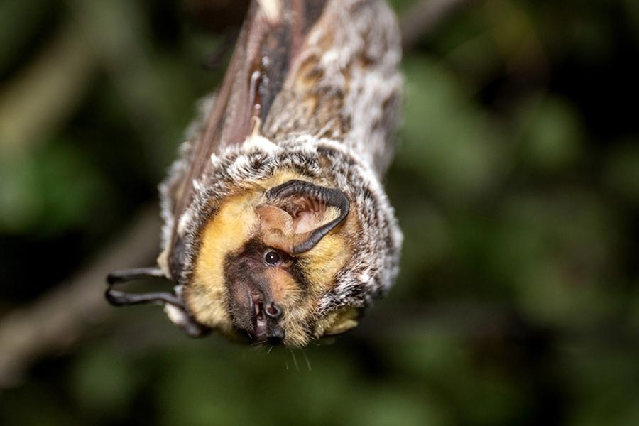 Hoary Bat hanging from tree