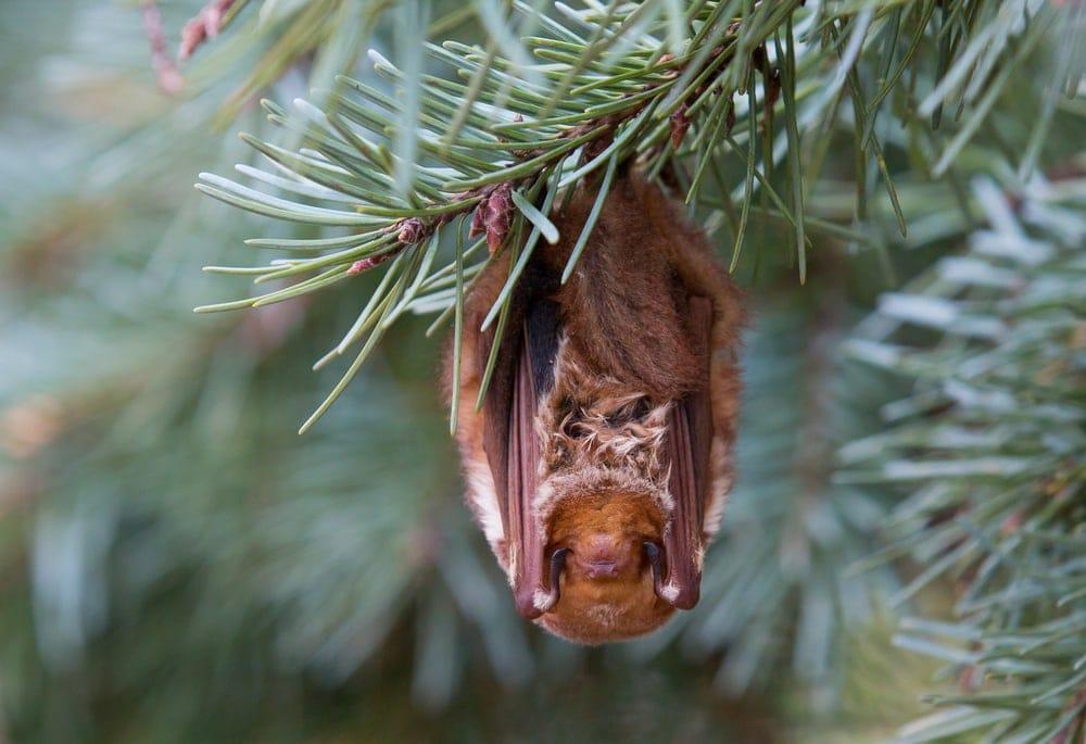 Eastern Red Bat (Lasiurus borealis) hanging from a pine tree branch