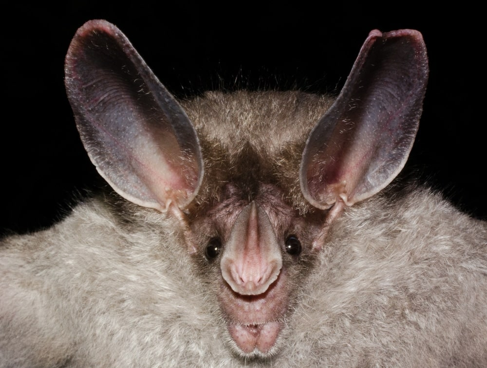Close up photo of a Big-Eared Woolly Bat (Chrotopterus auritus) with black background