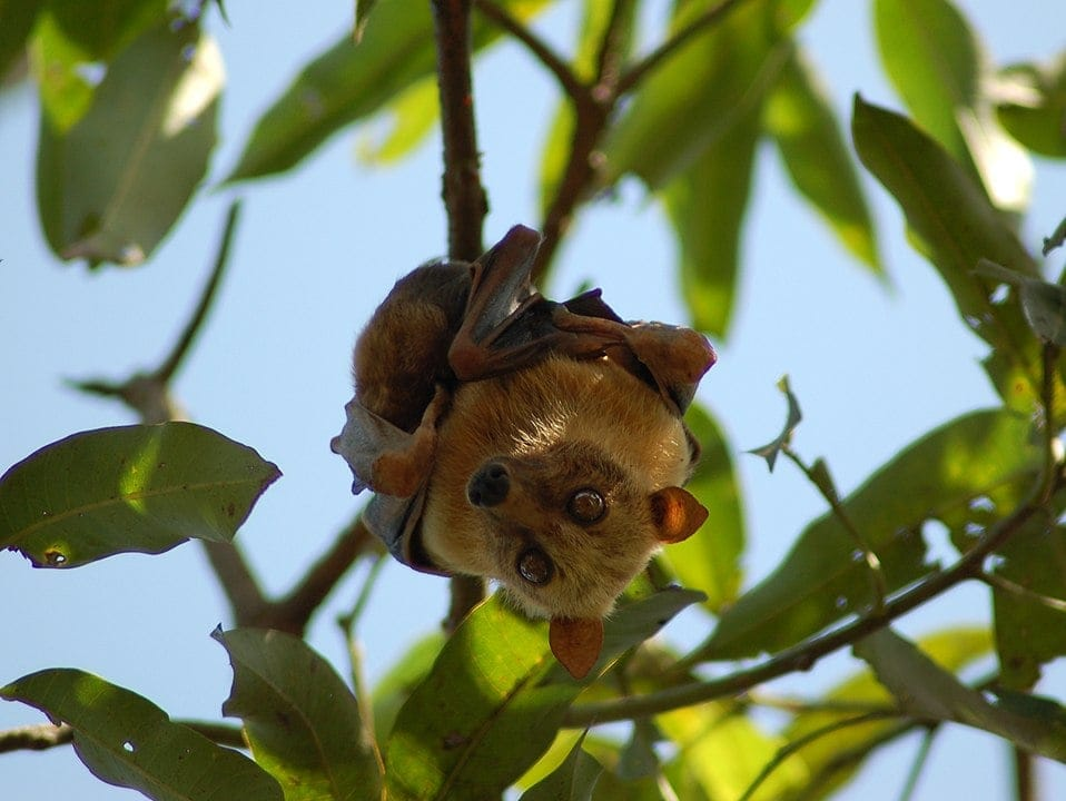 Sulawesi Flying Fox (Acerodon celebensis) hanging from a tree