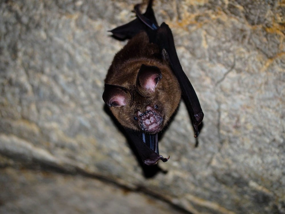 Indian False Vampire Bat (Lyroderma lyra) hanging inside a cave