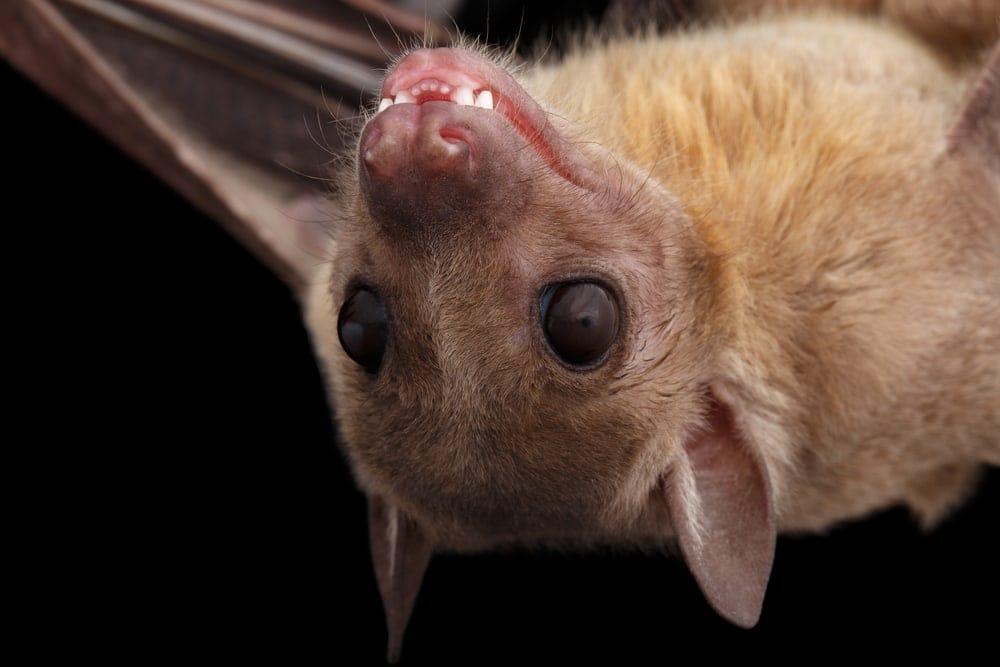 Closed up photo of an Egyptian Fruit Bat (Rousettus aegyptiacus)
