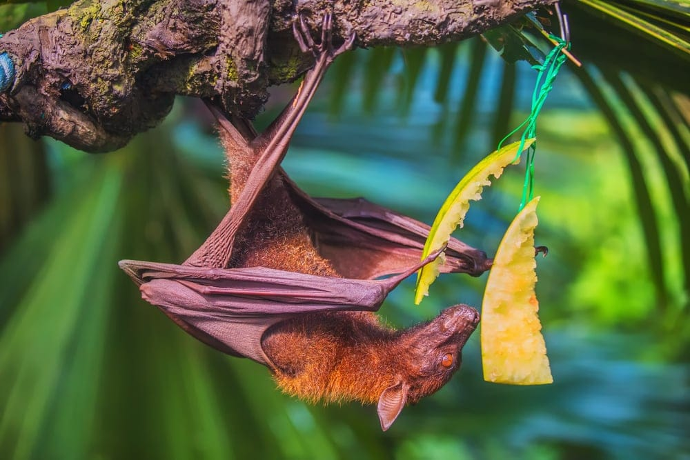 bat hanging from a tree while eating