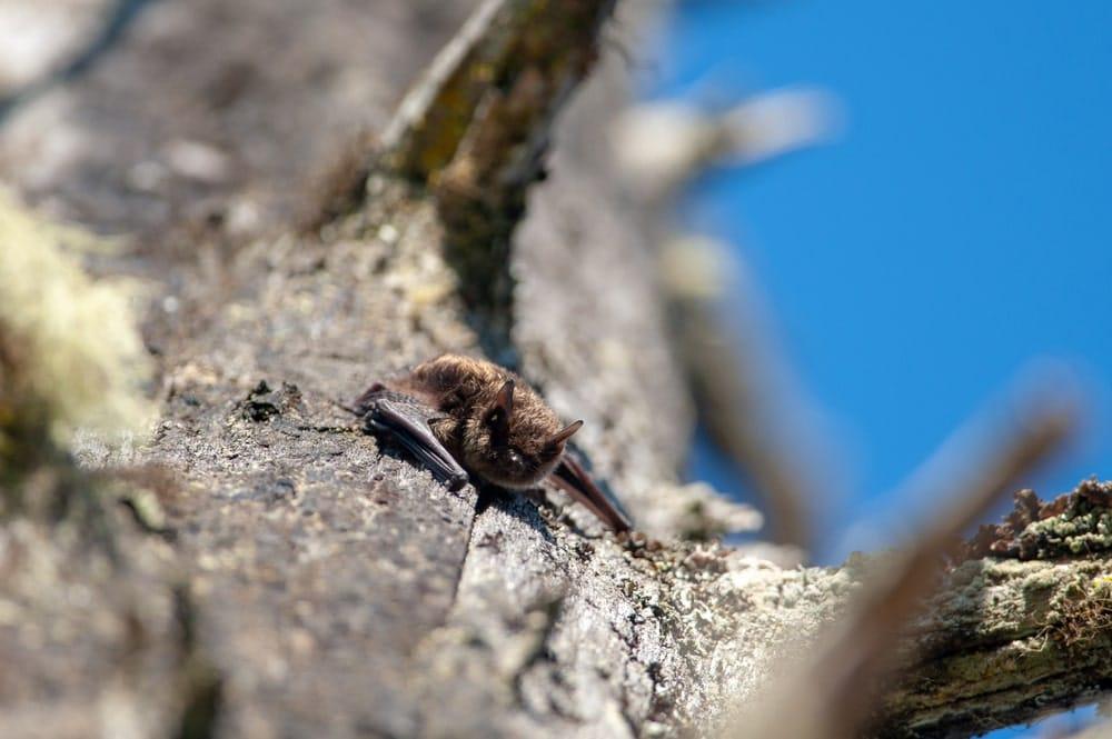 Little Brown bat on a tree