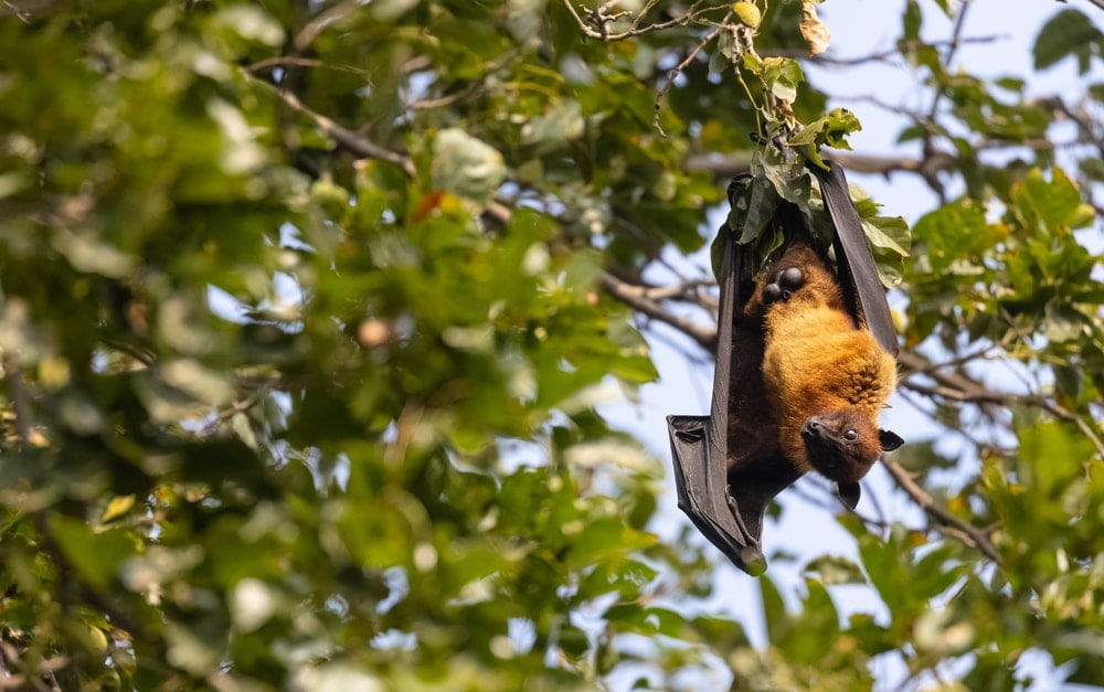 Megabats hanging from a tree branch