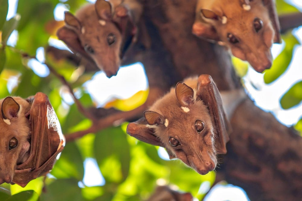 4 flying foxes bats from a tree