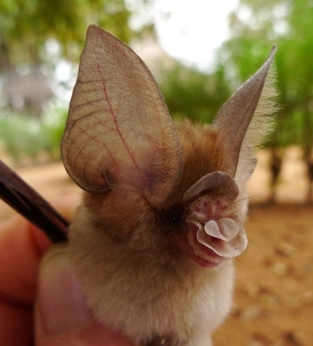 Closed up photo of an Old World leaf-nosed bats