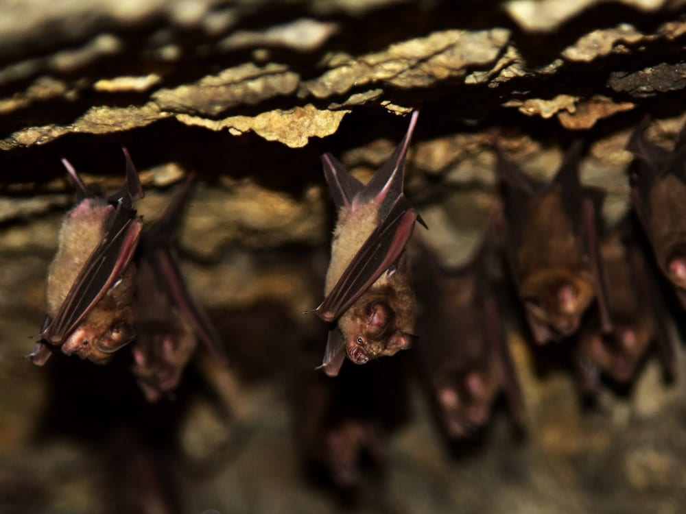 mouse-tailed bats from a cave