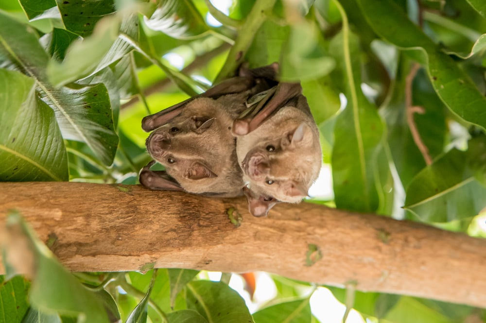 Two cute bats hanging from a tree