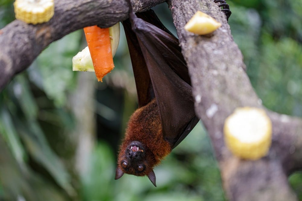 Big brown bat hanging on a tree branch