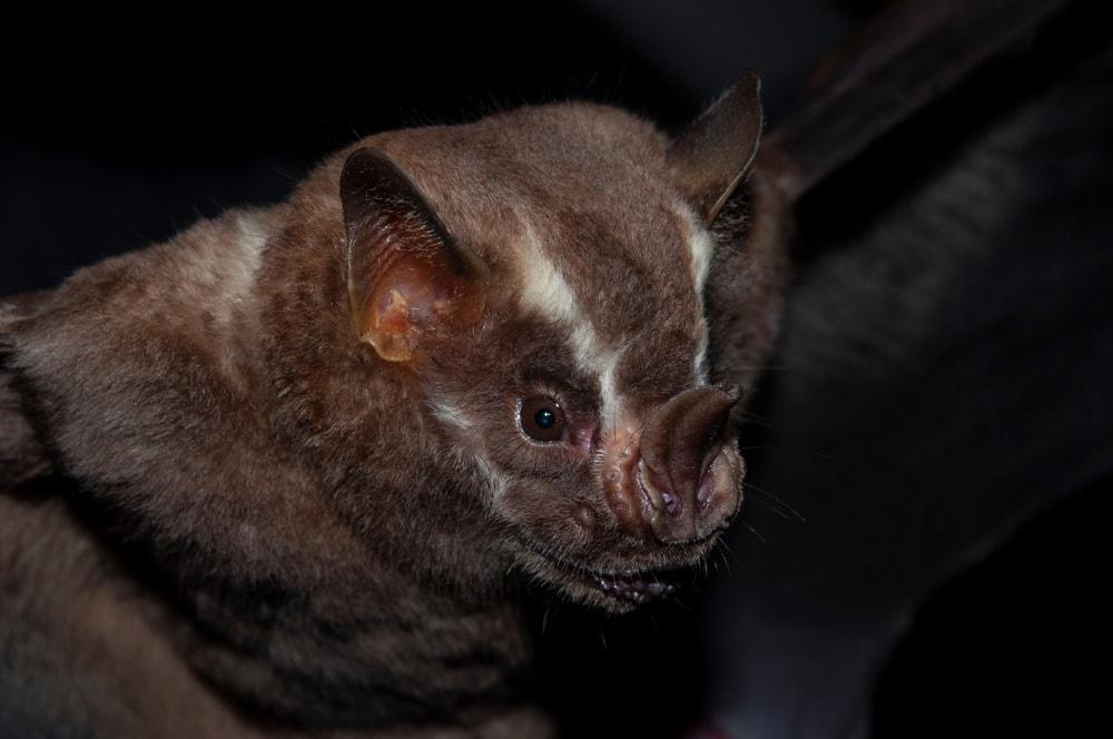 Close up photo of reat fruit-eating bat