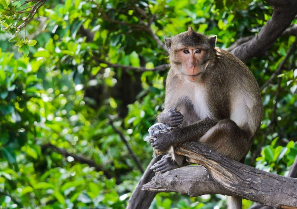 Crab-Eating Macaque (Macaca fascicularis) sitting on a tree branch