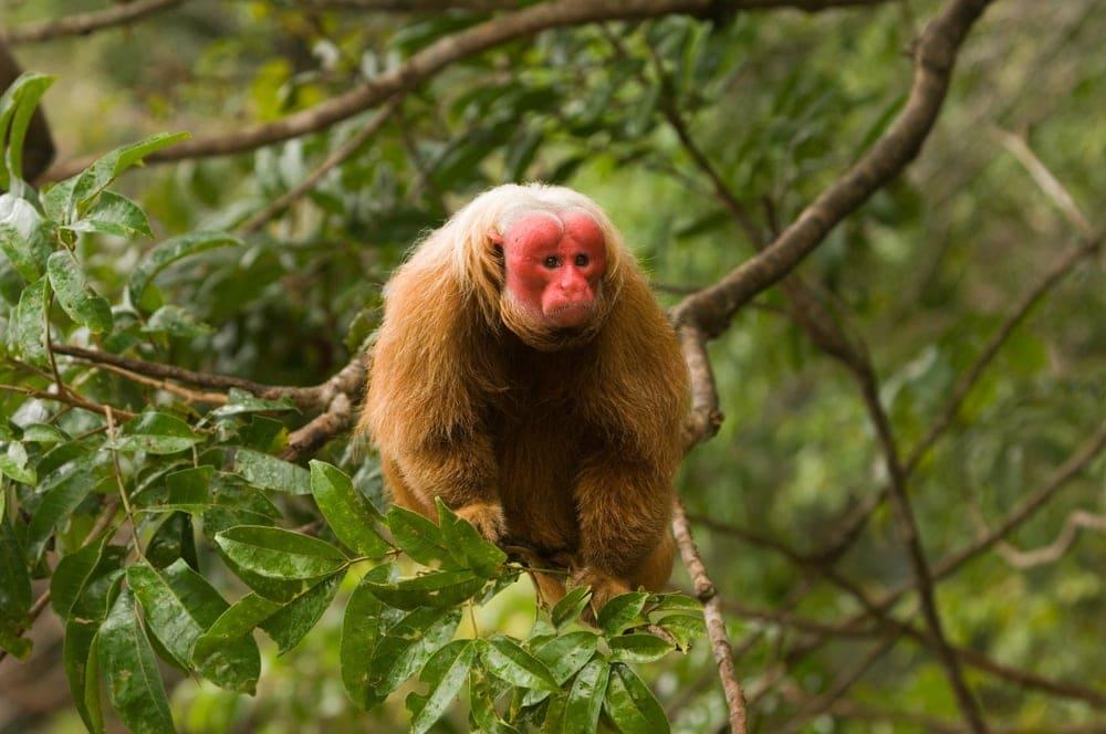 Bald Uakari (Cacajao calvus)