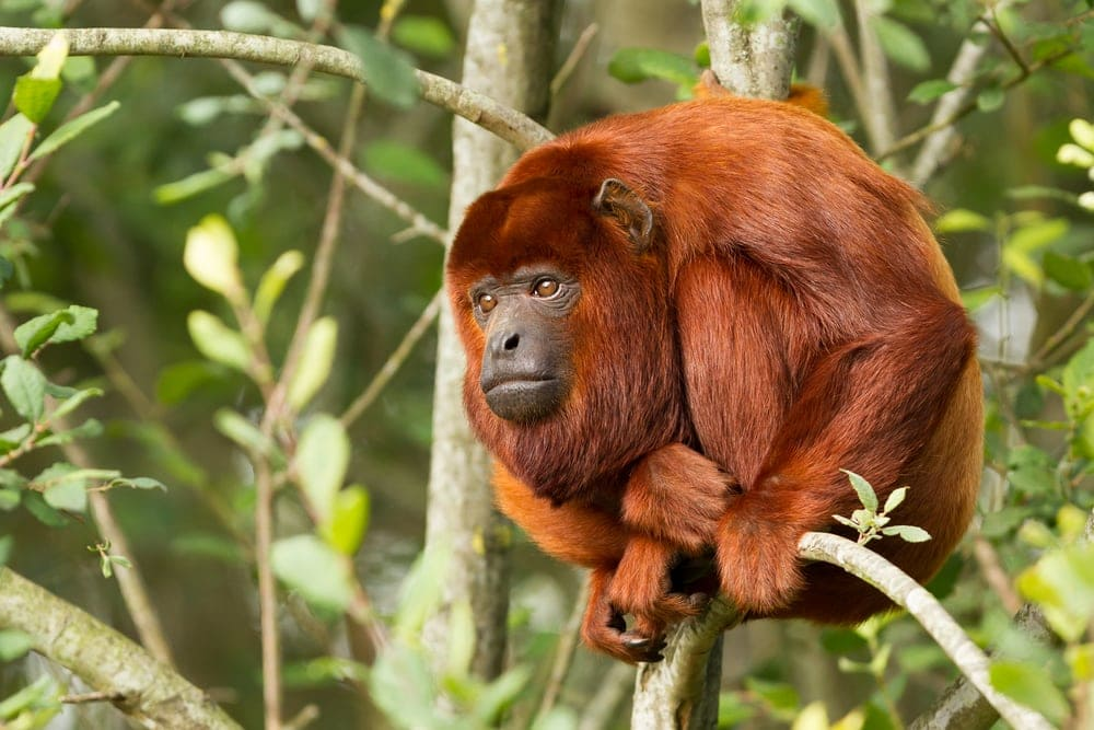 Colombian Red Howler (Alouatta seniculus)